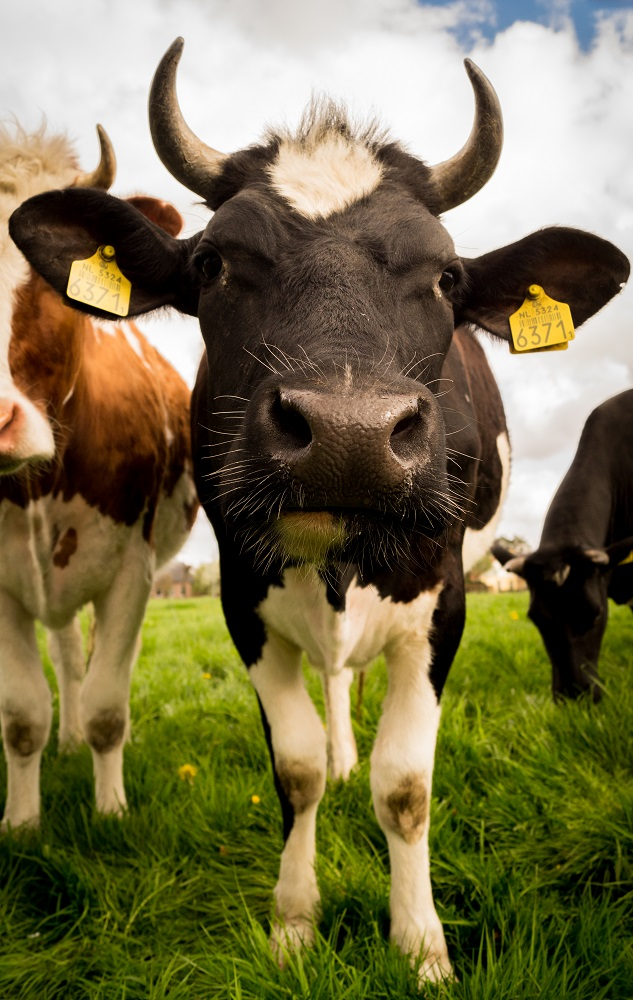 Cows-free-license-CC01